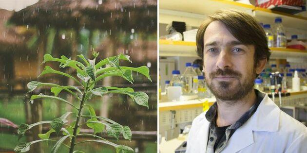 Stimulans kan ge växter bättre immunförsvar