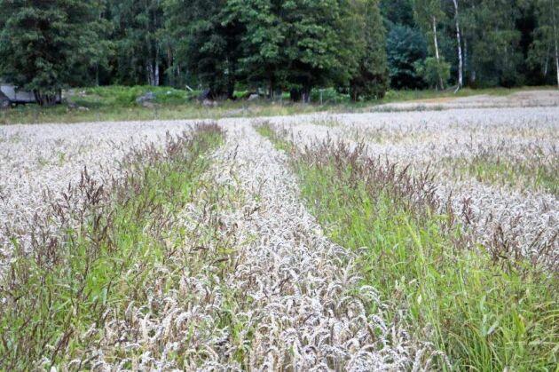 Hönshirs gror på våren och konkurrerar därför dåligt med höstsäd. I detta fall har den dock grott och växt upp i sprutspåren. Bilden är tagen i Stora Sundby i Sörmland.