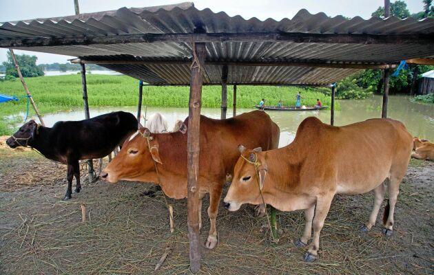 Kor är i det dominerande hinduistiska Indien heliga och får inte dödas. (Djuren på bilden har inget med texten ovan att göra.)