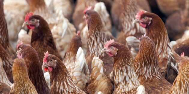 18000 djur avlivas efter utbrott av fågelinfluensa