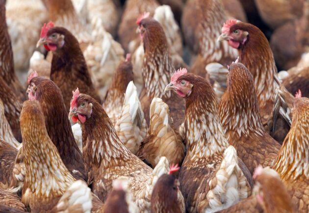 Under tisdagen kommer 18000 fjäderfän på en kläckanläggning i Skåne att behöva avlivas efter ett utbrott av fågelinfluensavirus. Bilden har inget med händelsen att göra.