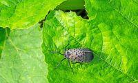Kinesisk insekt hotar frukt- och bärodlingar i USA