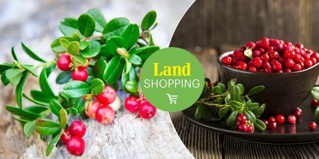 Vacker och nyttig marktäckare: Odla lingon under ordnade former