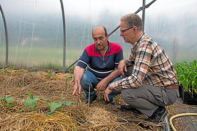 Abdul Hakim Hamsho och projektledaren för Grönt Näringsliv i Hagfors, Mikael Kjellstrand, diskuterar årets gurkplantering.
