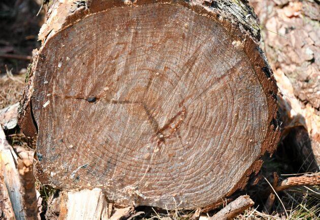 Tallarna är av arten Pinus patula, med ursprung i Mexiko. Många årsringar är 1,5 centimeter tjocka.