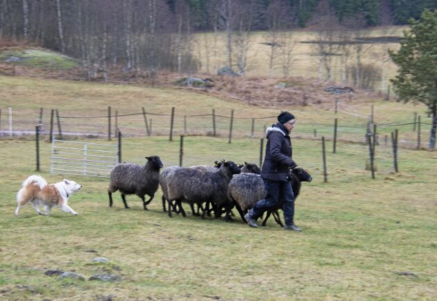 Kroppsvallaren styr flocken med sina rörelser. Hundens uppgift är att se till att fåren följer herden.