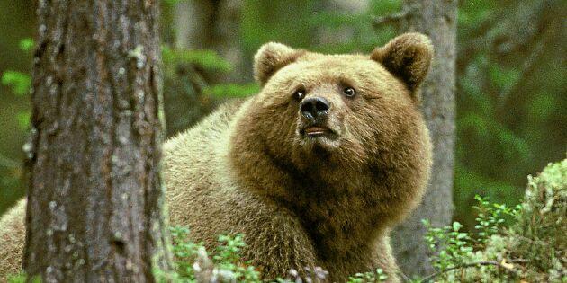 Småbjörnar söker skydd från livsfarliga björnhannar – hos människor