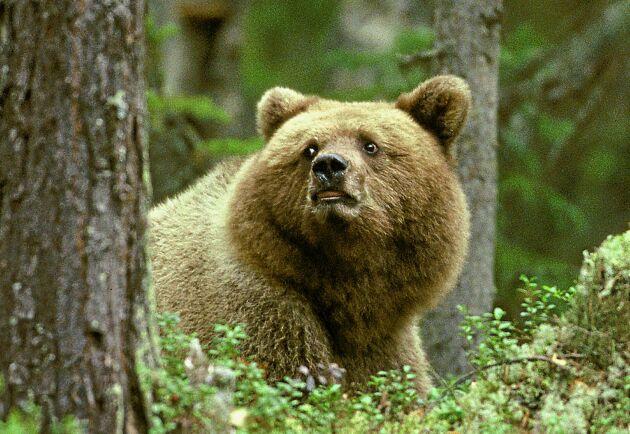 Unga björnhannar och honor med ungar är extra försiktiga under brunsttiden och vill inte möta stora och farliga björnar.