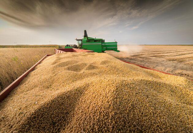 Skörden av sojabönor väntas slå rekord.