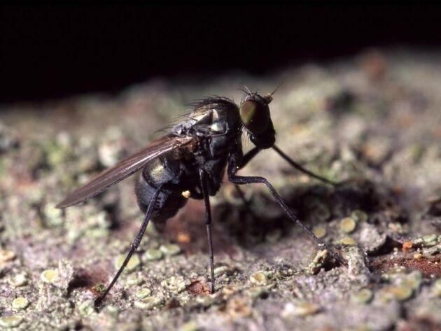 Äggläggande hona av styltfluga av släktet Medetera.