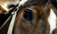 Sålde skadad häst som frisk – två gånger