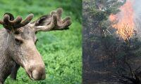 Så påverkas skogens djur av bränderna