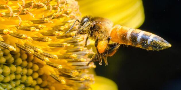 Pollinatörerna ska lockas till ekologiska fokusarealer