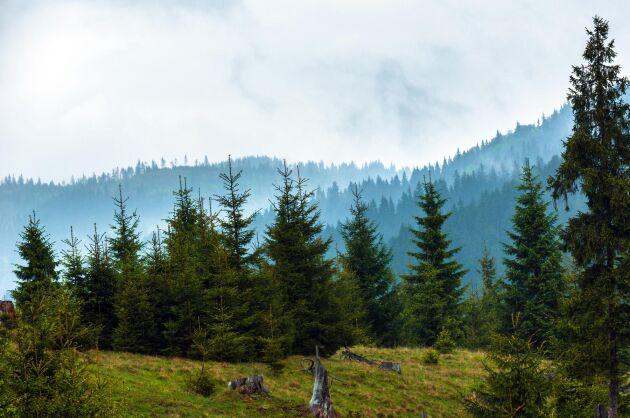 Skogen som svenska Greengold äger anklagas av rumänska skogsägarorganisationer för att vara stulen. (Bilden har ingenting med den aktuella skogen att göra)