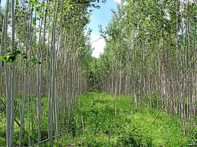 Skogforsk har tittat på olika röjningsstrategier i hybridasp.