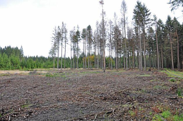 En glänta efter fällning av barkborreangripna träd i Tjeckien.