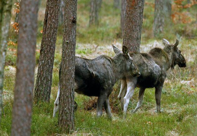 Älgar kan bli sällsynta i Sveriges sydligaste landskap om klimatet fortsättare att bli varmare.
