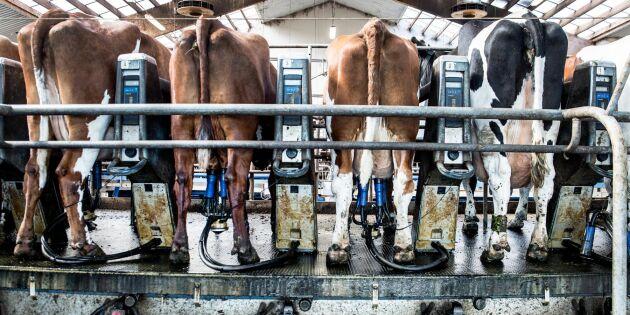 Mjölkbönder vill gå ihop för bättre lönsamhet
