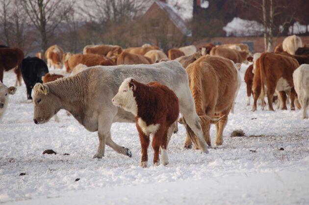 På Revingehed i Skåne går KC Ranchs köttdjur ute året om utan ligghall.