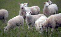 Tackor och lamm svårt plågade i fårhage