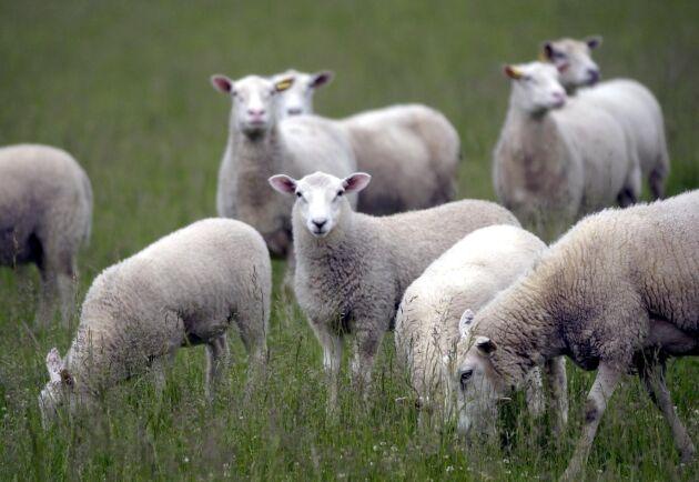 Tackor och lamm har misshandlats i en fårhage utanför Malmö. Polisen misstänker att ett tonårsgäng ligger bakom djurplågeriet. Arkivbild.