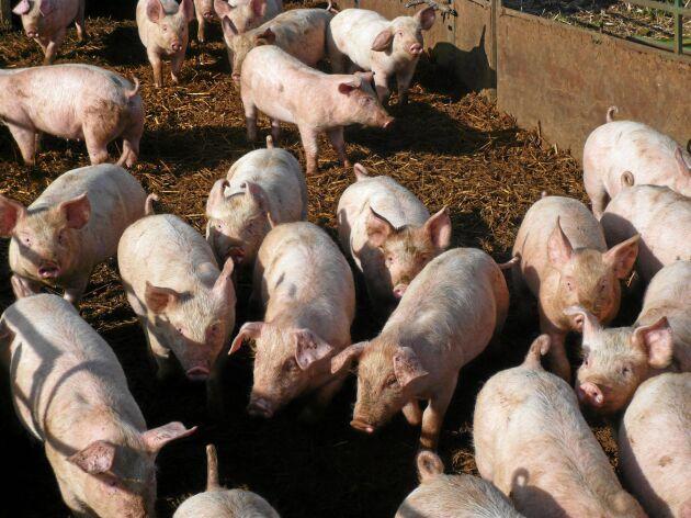 Regeringen vill köpa ut grisgårdar som sprider lukt.