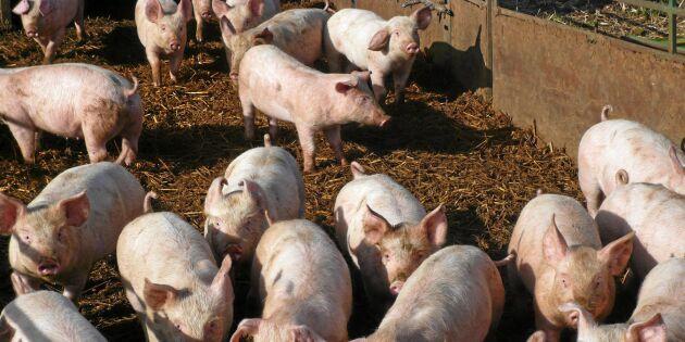 Nederländska politiker vill avveckla grisgårdar