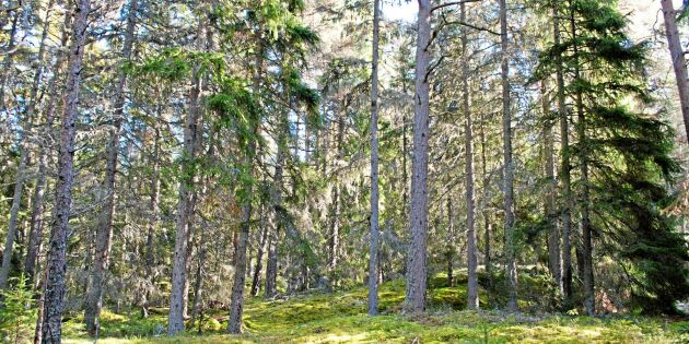Billerud Korsnäs omvärderar skogen