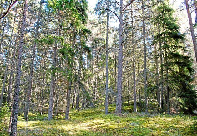 Billerud Korsnäs omvärderar sin skog, vilket gör att värdet ökar med 280 miljoner kronor. (Arkivbild)