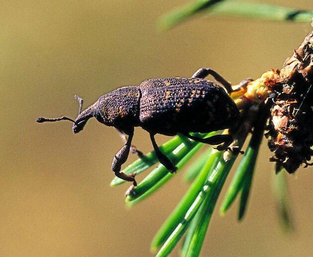 Snytbaggar kan bli svårare att rå på framöver, när preparatet Merit Forest förbjuds i december.