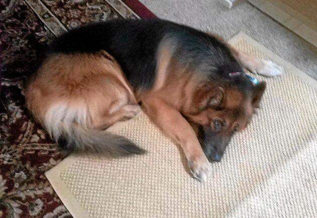 I ett hem i Kalifornien, långt från den stora branden, ligger den här stora och snälla hunden och väntar på att bli klappad.