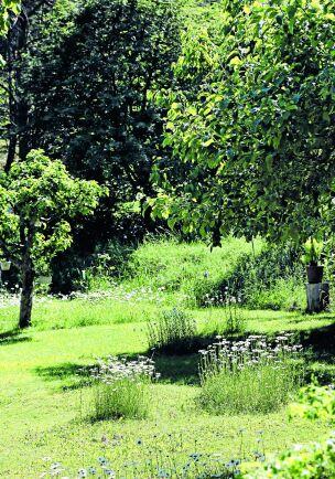 Låt prästkragarna blomma i öar i gräsmattan så att insekterna kan flyga emellan. Det är en bra kompromiss om man inte har möjlighet att anlägga en hel äng.