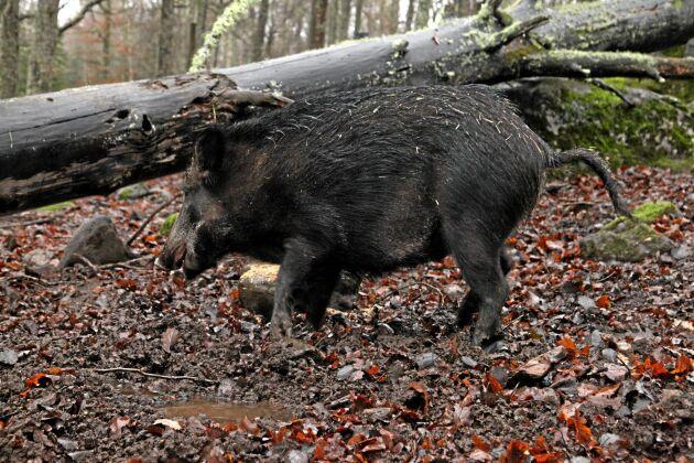 Det totala antalet smittade vildsvin stannar på 824 i Belgien. Av dessa har 799 självdött och 25 har skjutits.