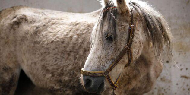 Lång väg tillbaka för Syriens hästar