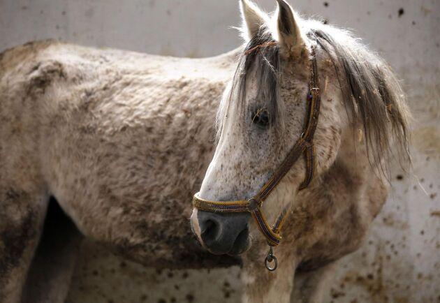 Tusentals renrasiga arabhästar har försvunnit under kriget i Syrien. Stoet Karen är den sista hästen av sin blodslinje, och får nu vård på ett rehabiliteringsstall utanför Damaskus.