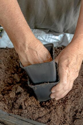 Hårt packad jord får luktärten att trivas.