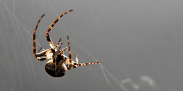 Förbluffande! Det här visste du (säkert) inte om spindlar
