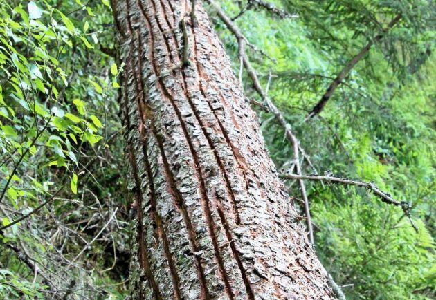 Länsstyrelsen har randbarkat granar i det intilliggande naturreservatet.