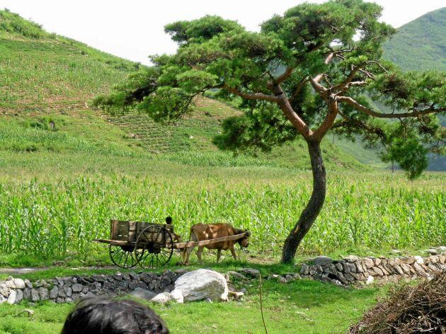 Oxar är vanligare än traktorer när det gäller att dra jordbruksredskap.