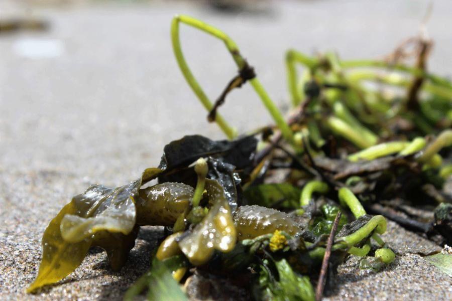 Blåstång är en brunalg med gaffelgreniga skott. På västkusten växer den i ett några decimeter brett bälte i tidvattenszonen. I Östersjön förekommer blåstång från lågvattenlinjen och ner till tio meters djup. Foto: Catxalot