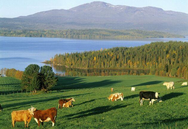 Att skapa förutsättningar för fjälljordbruk, fäbodbruk och utmarksbete är en viktig insats för både natur- och kulturmiljön, skriver Olle Larsson från Landsbygdspartiet Härjedalen. Bilden visar dock kor som betar utanför Krok i Jämtland.