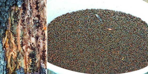 Rekordstort antal granbarkborrar i fälla