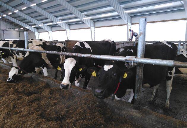 Kor i nya ladugården.