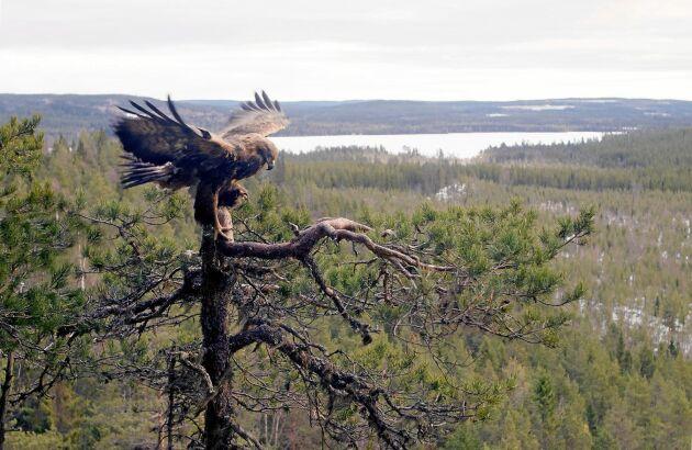 """Bilden på örnen i en talltopp är Göran extra nöjd med. """"Den är tagen långt in i den jämtländska vildmarken"""", berättar han."""