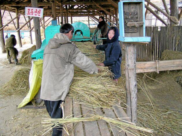 Det mesta av arbetet på jordbruken görs för hand. Här binds kärvar av halm.