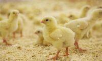 Uppåt för kyckling trots larmrapporter