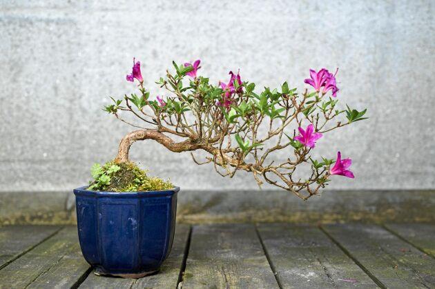 Halvkaskad kallas den här bonsaistilen på en azalea som ser ut att växa över ett vattendrag.