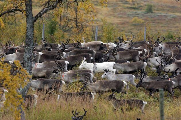 Över 4 000 renar ska provtas.