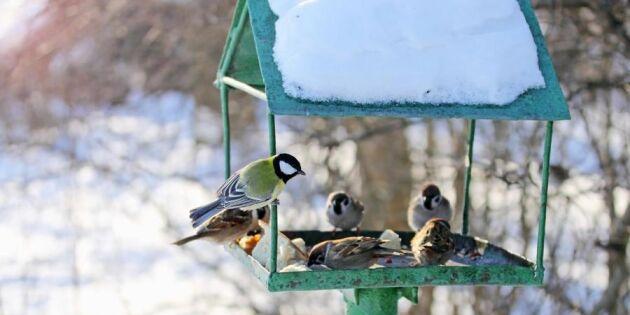 Så lockar du fåglar till trädgården – 8 tips
