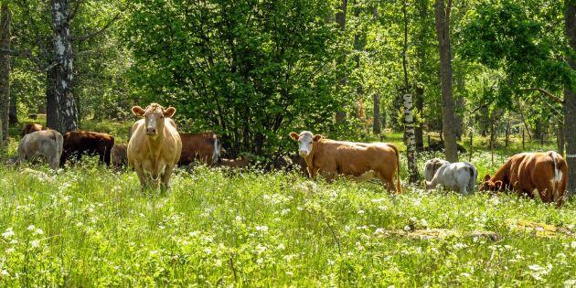 Skillnaden mellan svenskt och importerat nötkött